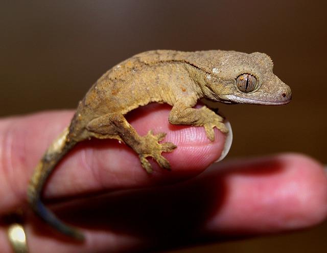 chocholatý gekon
