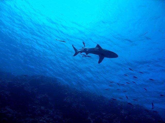 žralok pod hladinou