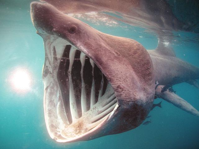 pusa žraloka